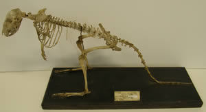 bettong skeleton