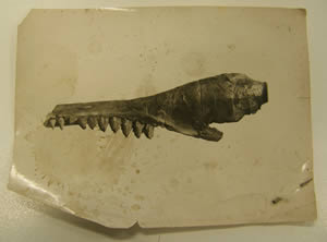 whale jaw fossil