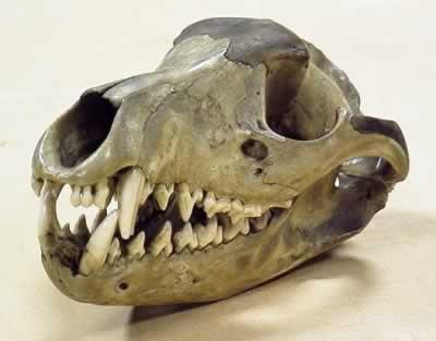 thylacine skull