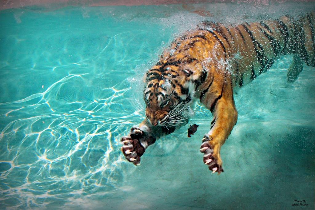 Tiger-claws.jpg