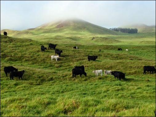 cows-waimea.jpg